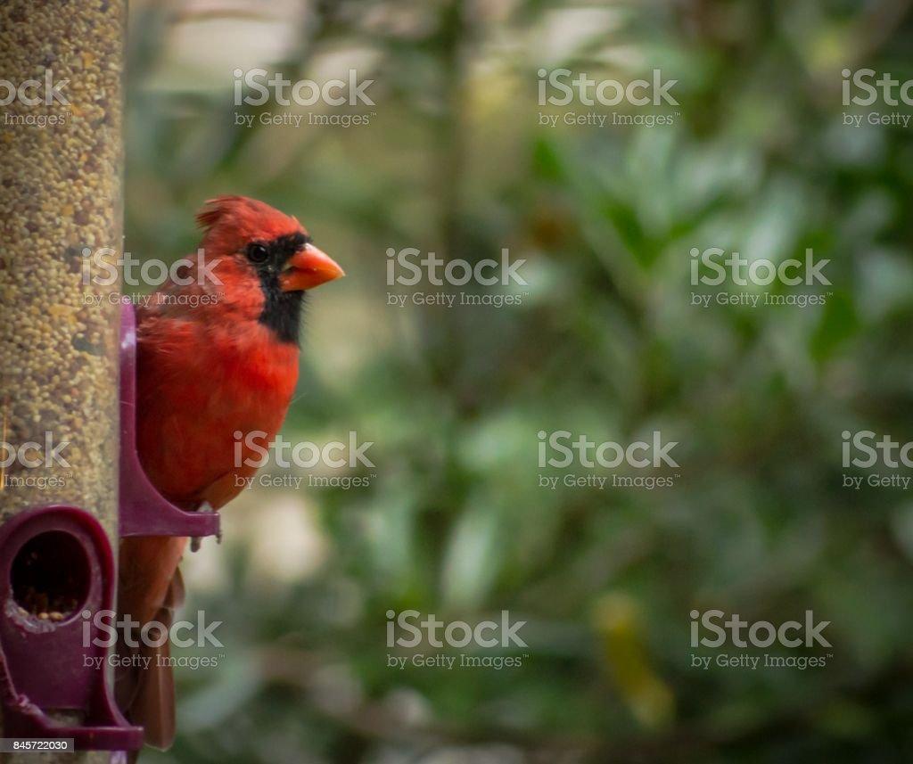 Cardinal Feeding stock photo