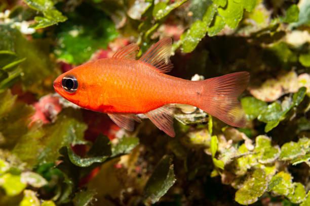 Cardinal Fish Apogon imberbis in Shallow Water, Gozo, Malta stock photo