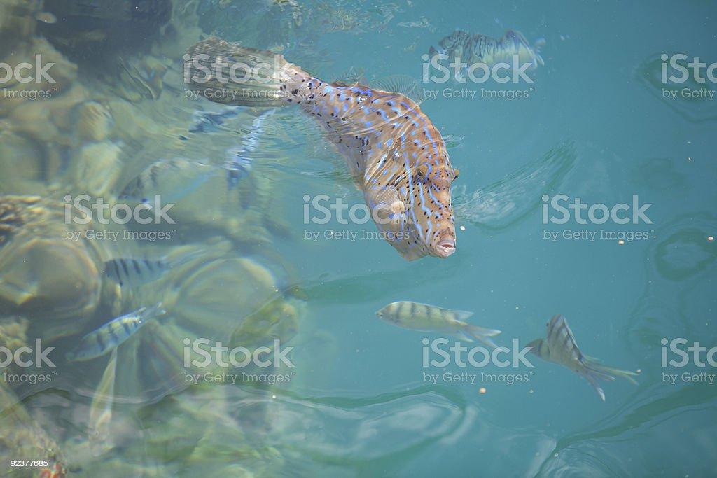 Cardinal Fish royalty-free stock photo