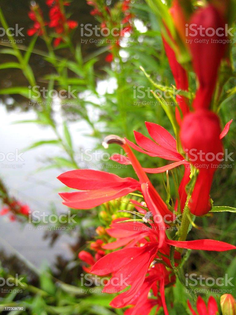 Cardinal Flower stock photo