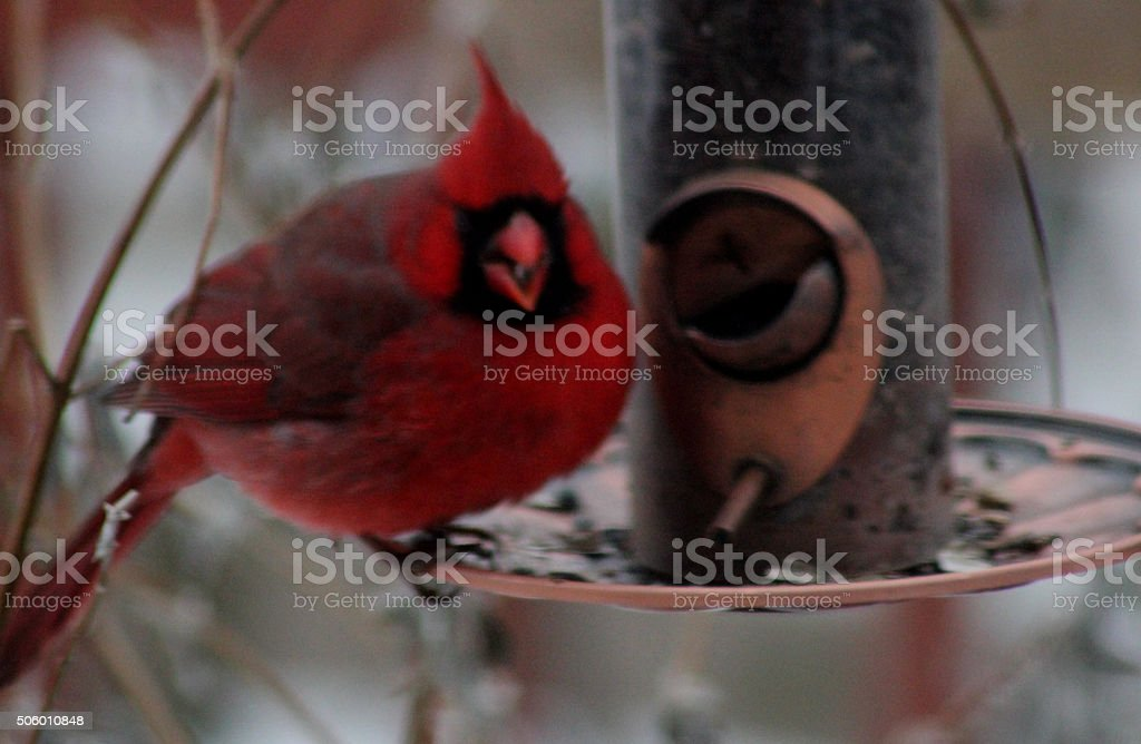 Cardinal Having Dinner stock photo