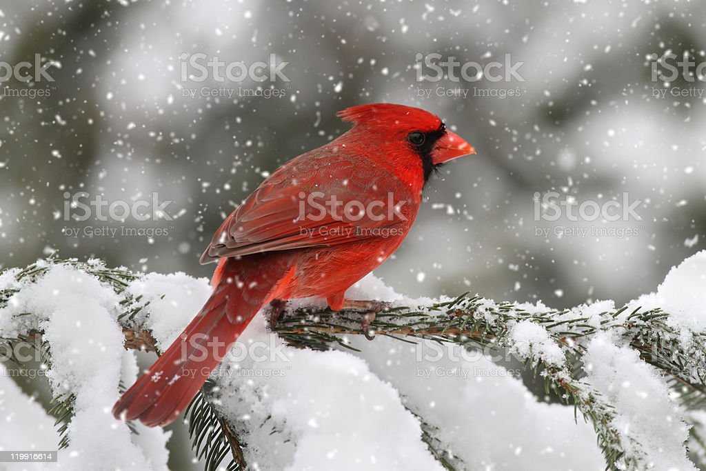 Cardinal In A Snow Storm stock photo