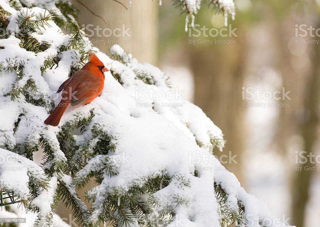 cardinal in an evergreen stock photo