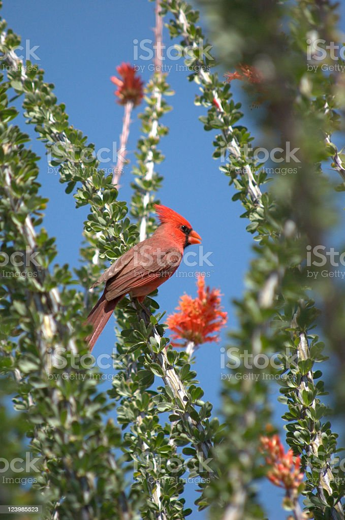 Cardinal in an Ocotillo plant royalty-free stock photo