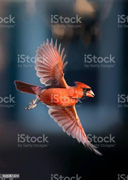 Cardinal in flight picture id505067424?b=1&k=6&m=505067424&s=612x612&h=dy dnu1cxogfidakx7nayiawihqvgxyagk9pk7uixpy=