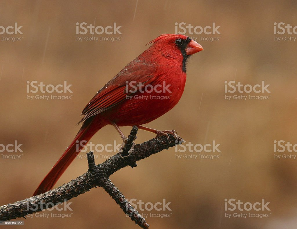 Cardinal in Rain royalty-free stock photo
