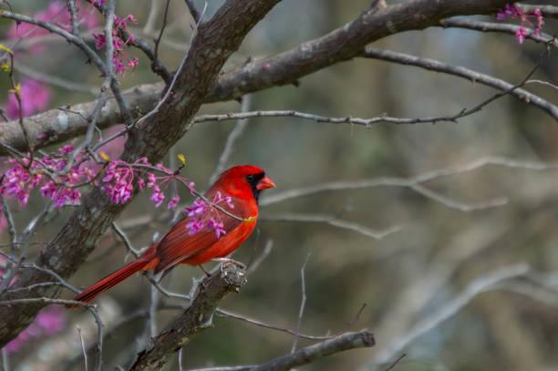 cardinal dans l'arborescence de gainier rouge - oiseau chanteur photos et images de collection