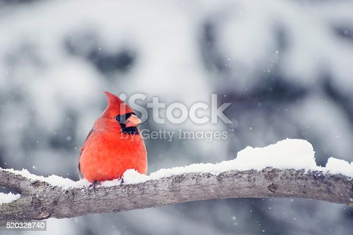istock Cardinal in snow 520328740