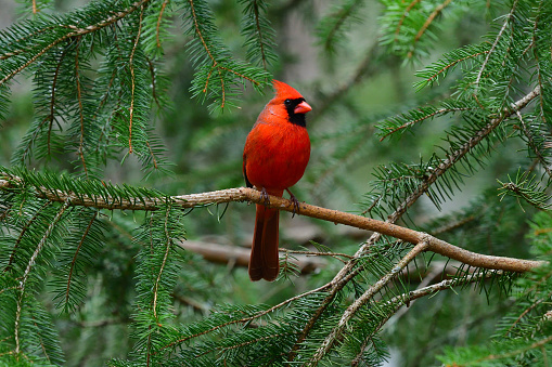 Male northern cardinal in white spruce tree