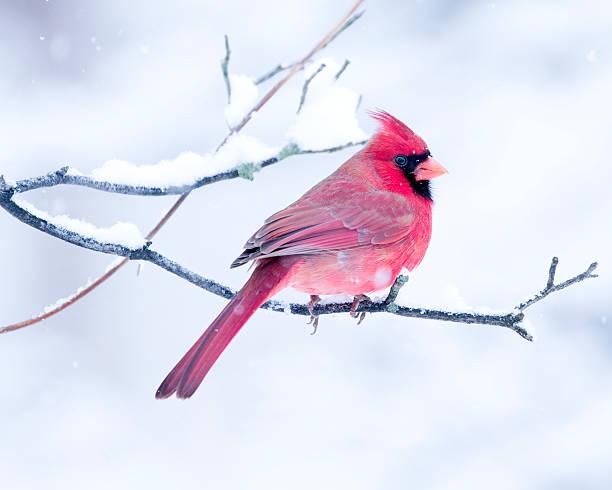 cardinal dans la neige - membre photos et images de collection