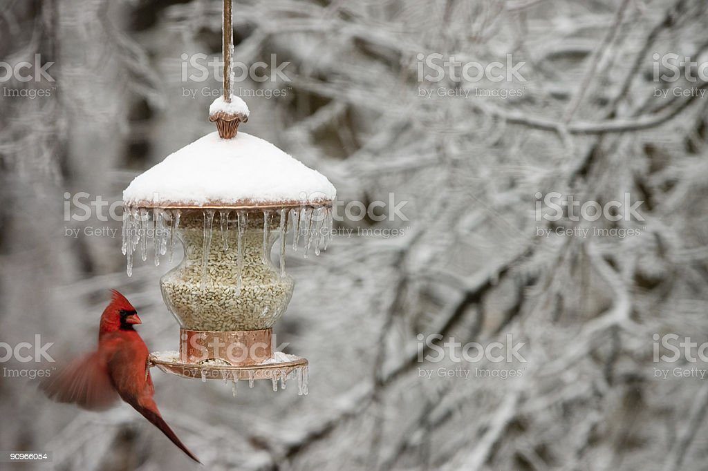 Cardinal in winter stock photo