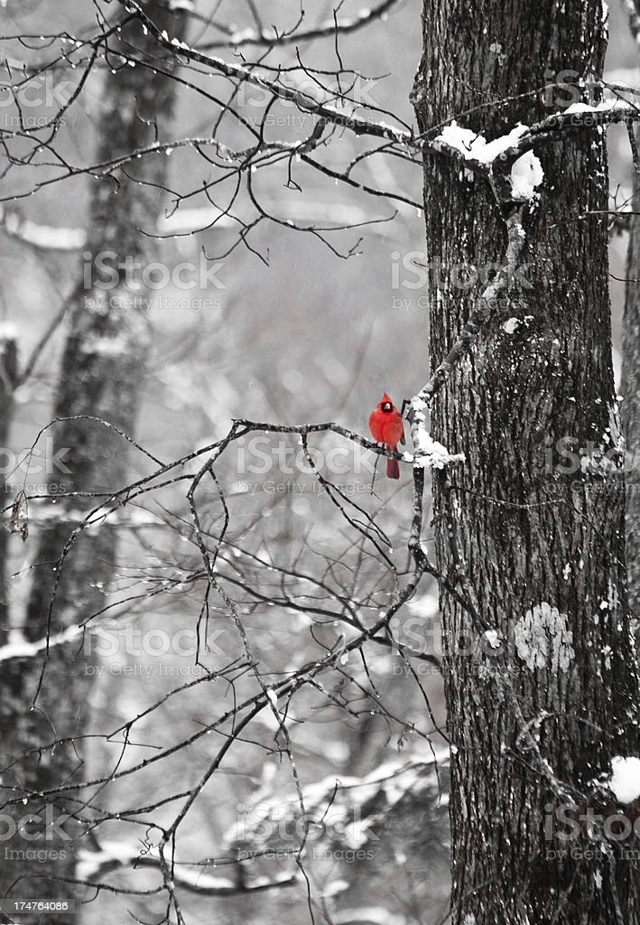 Cardinal in Winter Trees stock photo