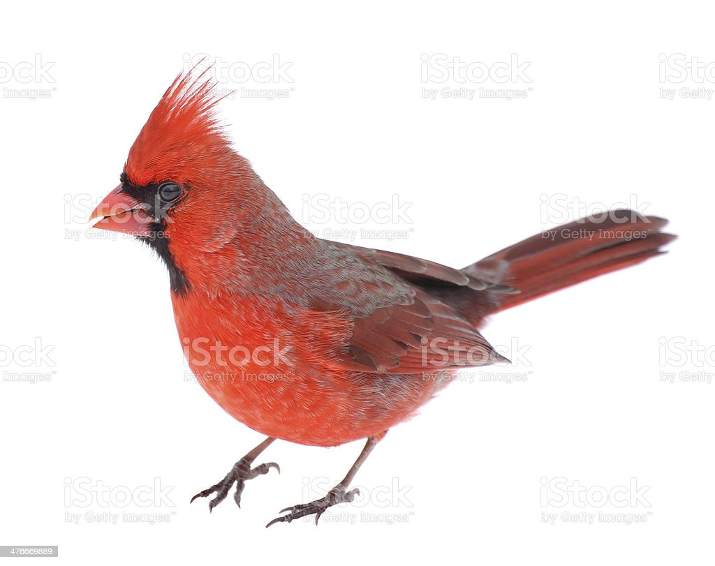 Cardinal Isolated stock photo