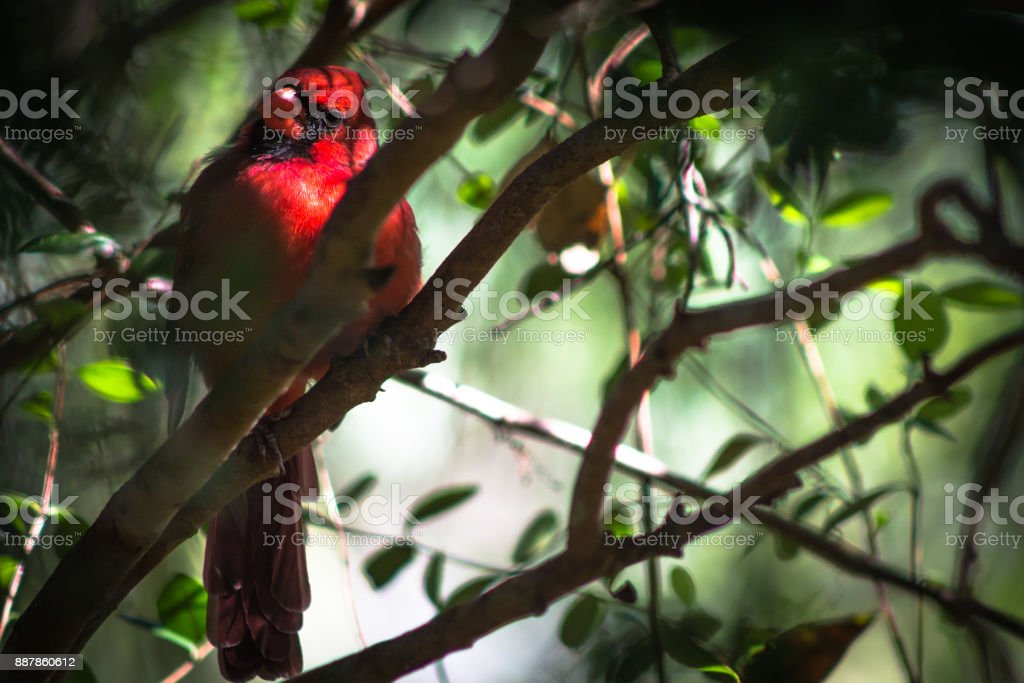 Cardinal of the Forest stock photo