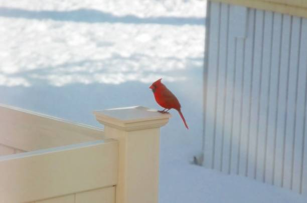 Cardinal on a Fence in Wintertime 1 stock photo