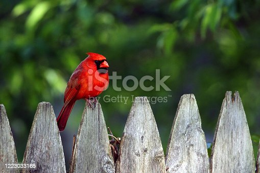 Male cardinal perched on a rustic garden fence