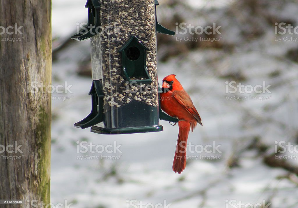 Cardinal on Bird Feeder stock photo