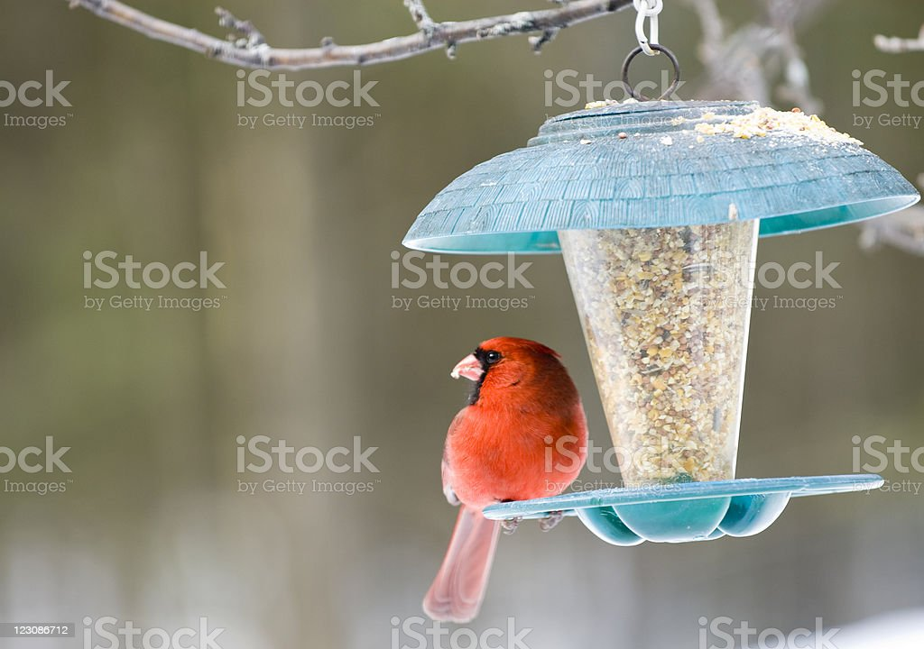 Cardinal on Birdfeeder stock photo