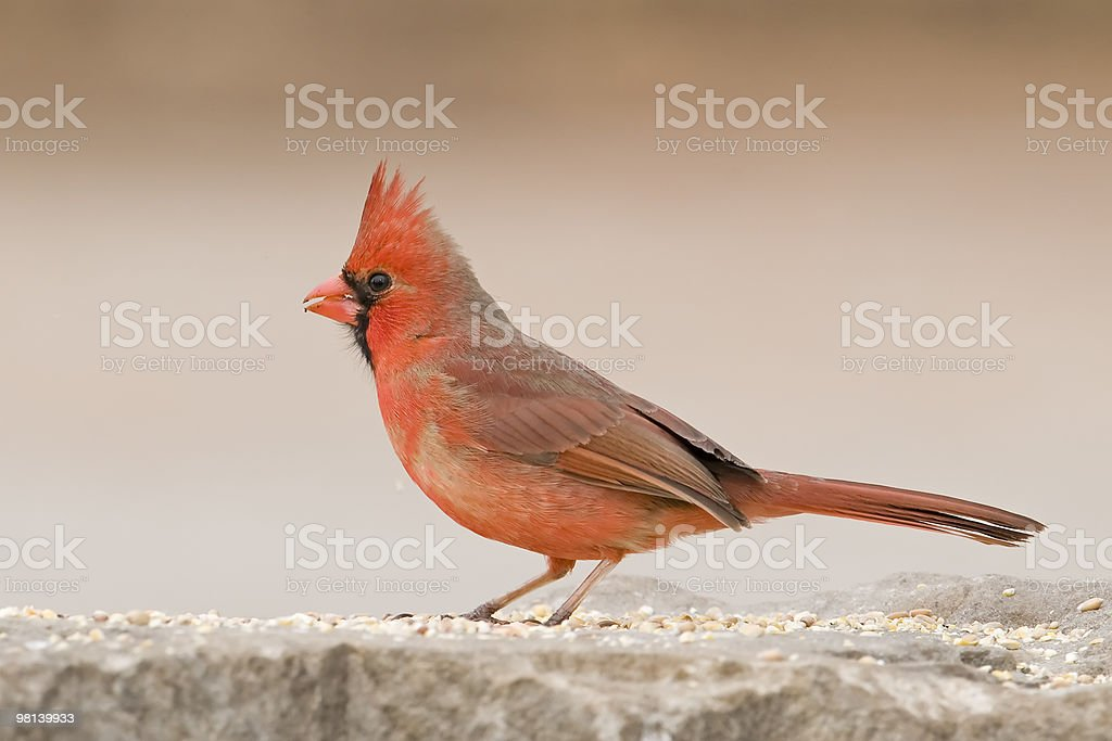 Cardinal on stone royalty-free stock photo