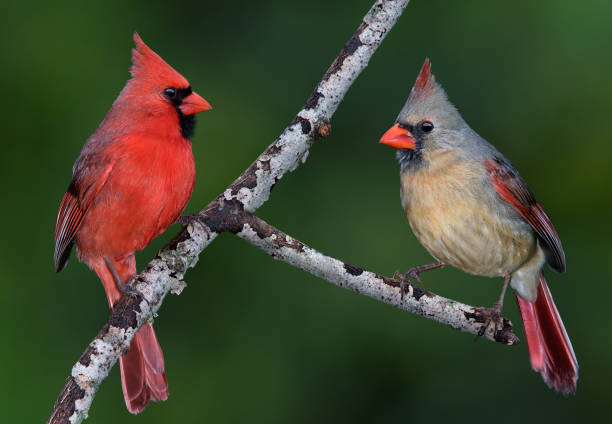 Cardinal Pair A pair of cardinals are facing each other on a tree branch. female animal stock pictures, royalty-free photos & images