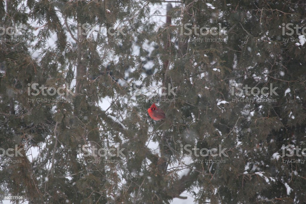 Cardinal perched in an Evergreen in Winter, Boston MA. stock photo