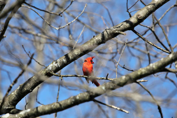 Cardinal perched on a birch tree in the wind #1, Boston MA. stock photo