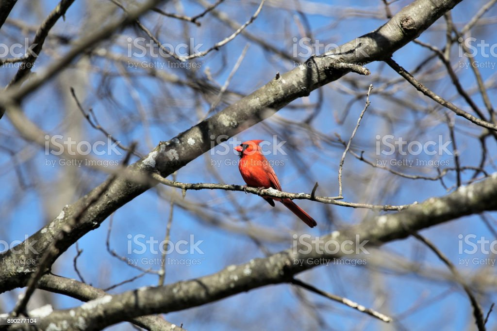 Cardinal perched on a birch tree in the wind #2, Boston MA. stock photo