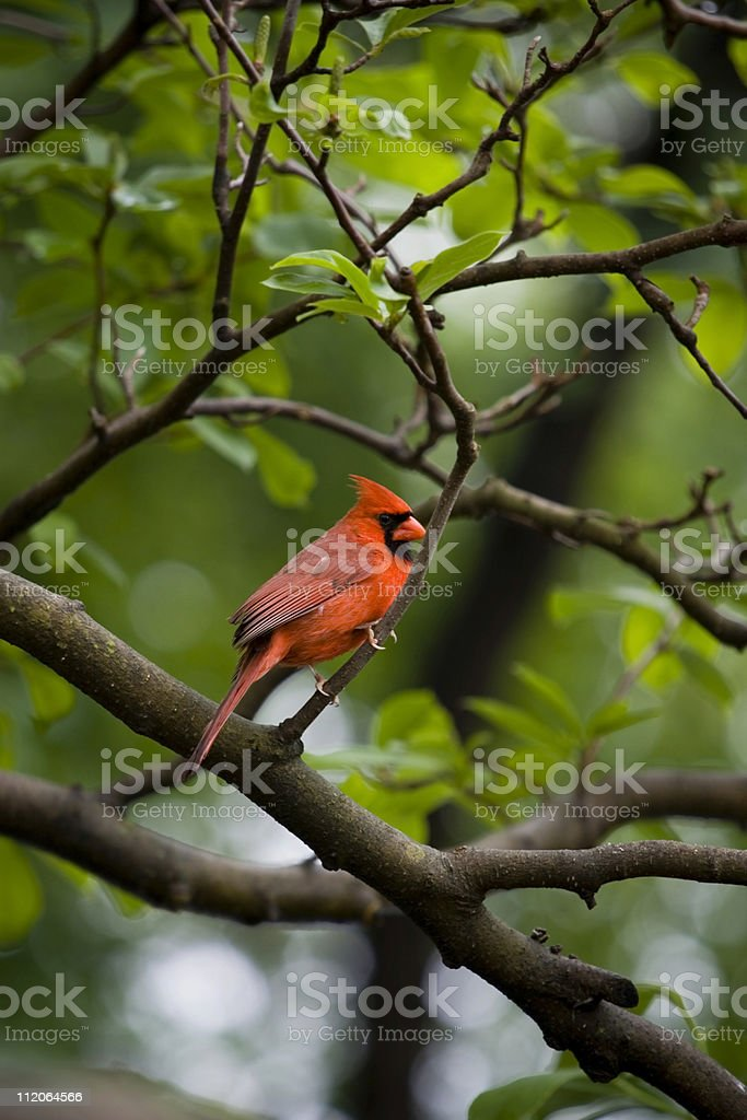 Cardinal royalty-free stock photo