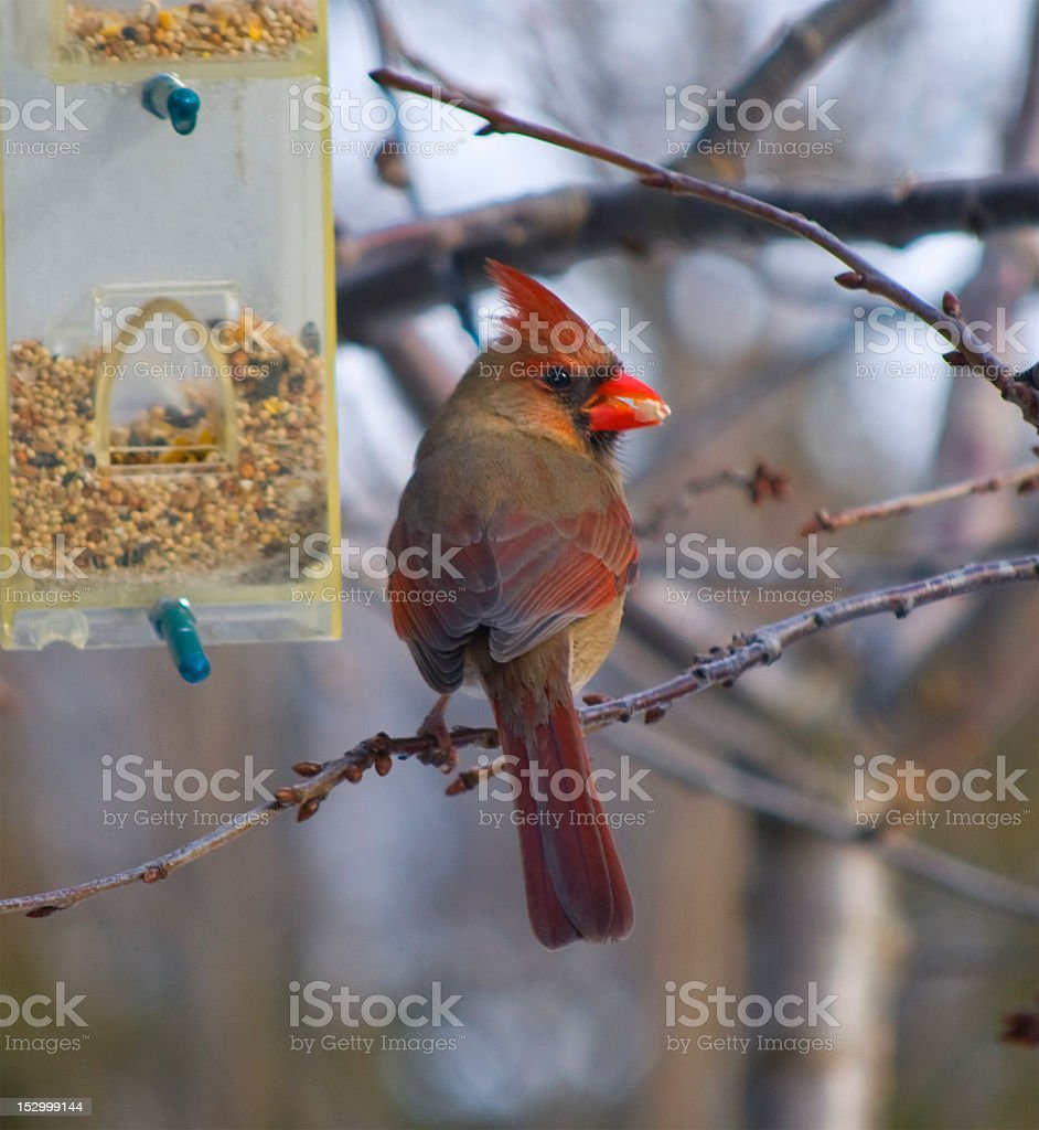 Cardinal Stock Photo & More Pictures of Animal Wildlife
