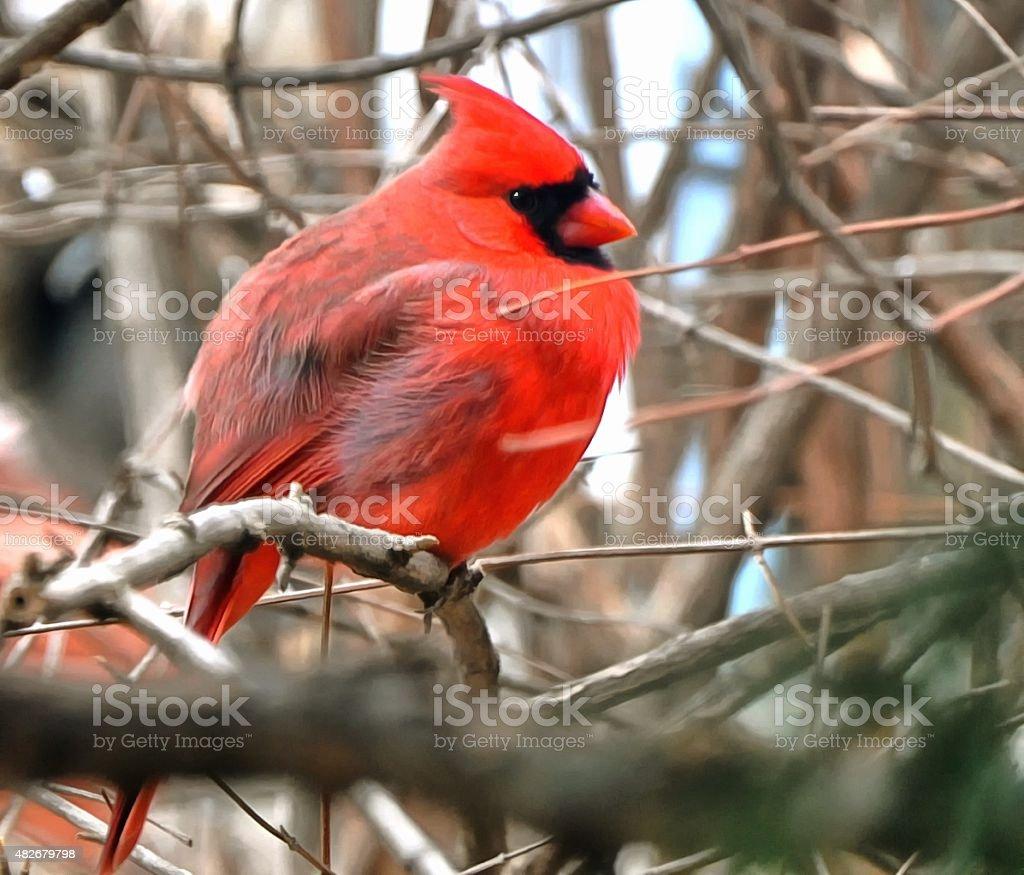 Cardinal #3 stock photo