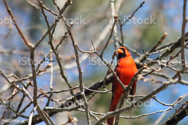 Cardinal picture id949224300?b=1&k=6&m=949224300&s=612x612&h=ytxjiqq2z4quoppwtj0xqacileniya ldhf whdlzx0=