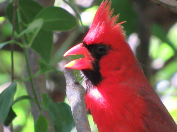 cardinal - dianna dann narciso stock pictures, royalty-free photos & images