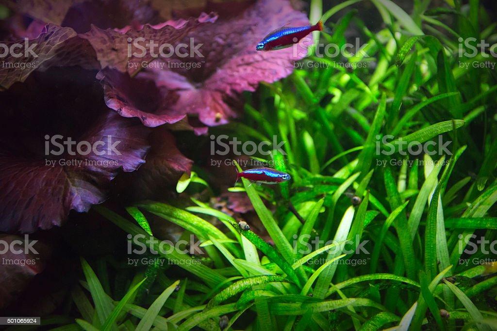 Cardinal red small fish stock photo