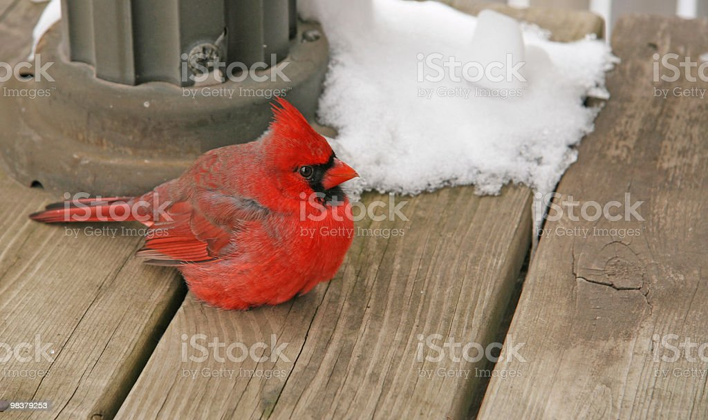 Cardinal sitting on my deck.  Indiana State Bird. royalty-free stock photo