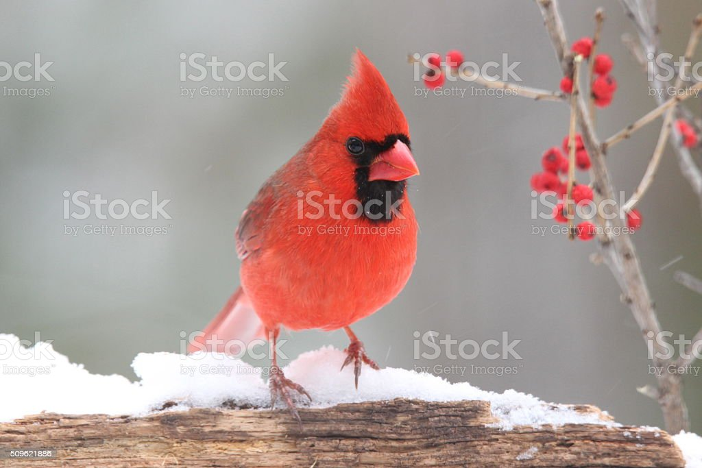 Cardinal with Berries stock photo
