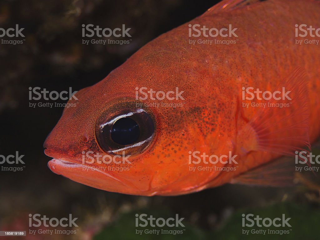 Cardinalfish, Meerbarbenkönig (Apogon imberbis) royalty-free stock photo