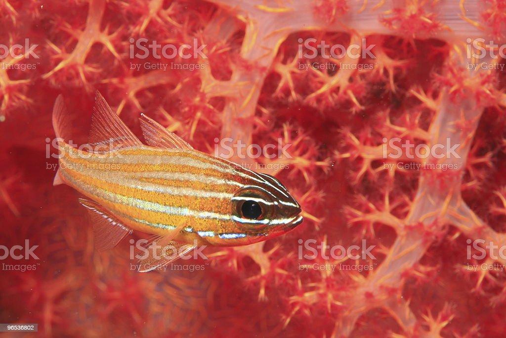 Cardinalfish royalty-free stock photo