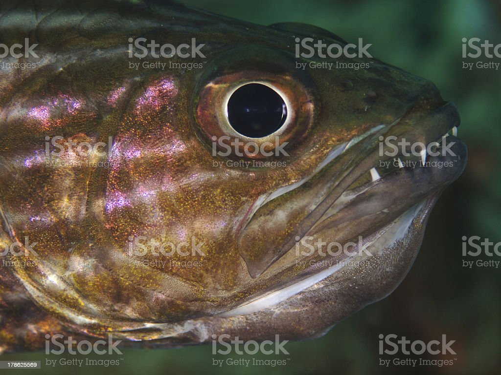 Cardinalfish with Eggs in the Mouth, Kardinalbarsch (Cheilodipterus intermedius) royalty-free stock photo