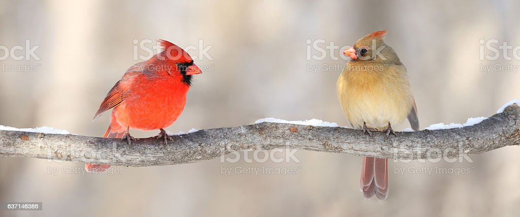 cardinals in nature stock photo