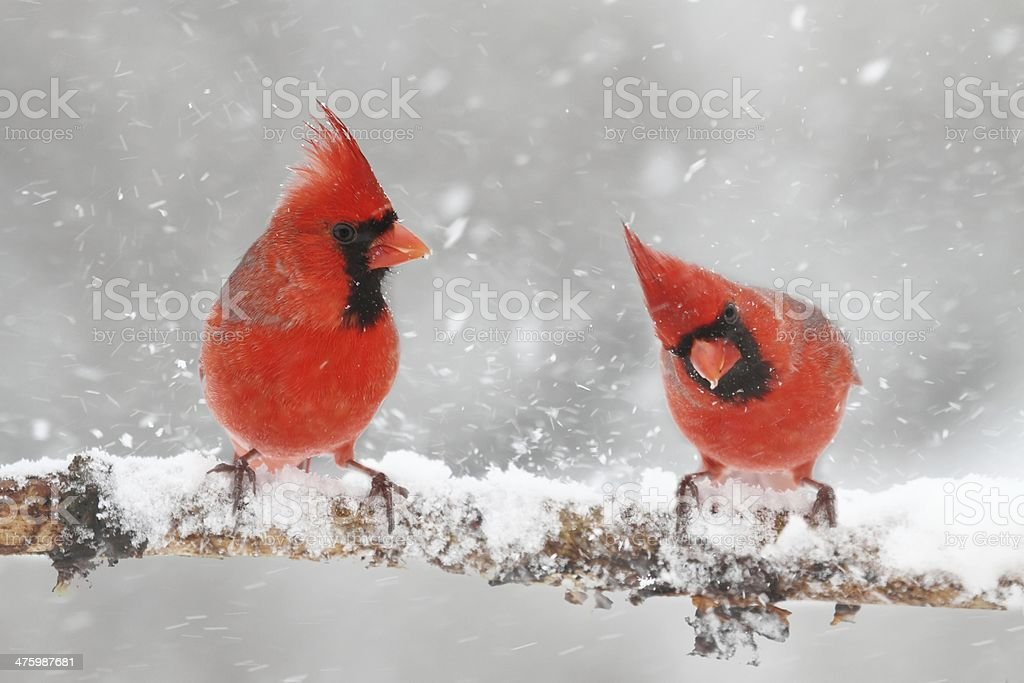Cardinals In Snow stock photo