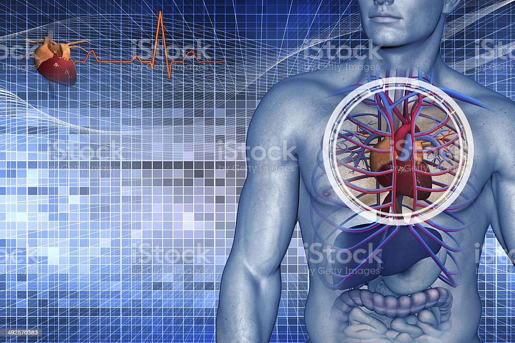 cardio vascular system of the human stock photo