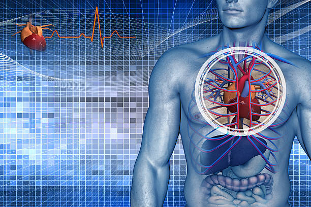 cardio vascular system of the human - biomedical illustration stock photos and pictures