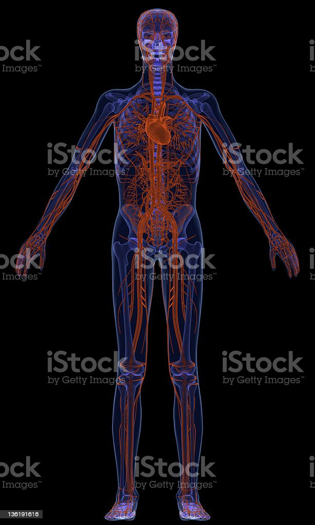 Cardiovascular system royalty-free stock photo
