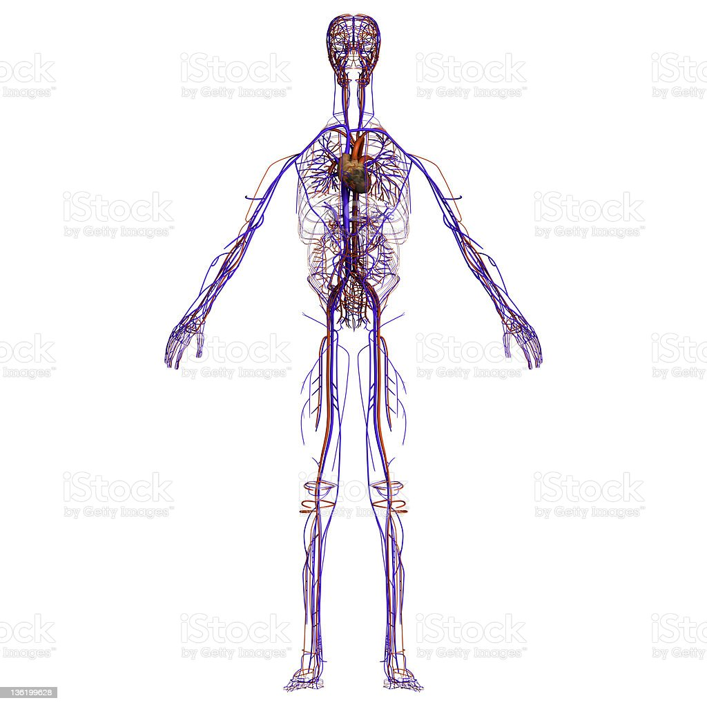 Cardiovascular system stock photo
