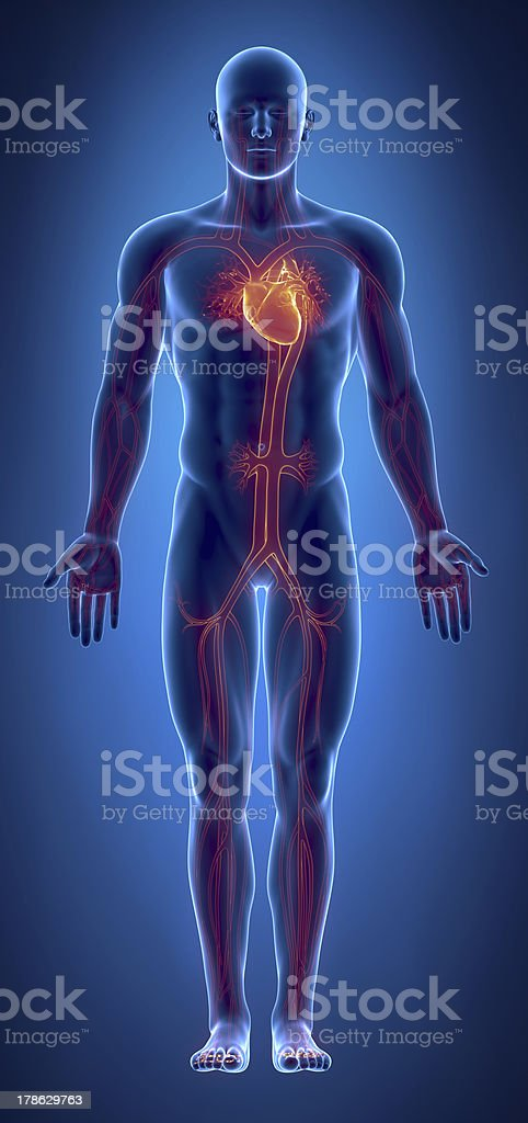 Cardiovascular system with glowing heart stock photo
