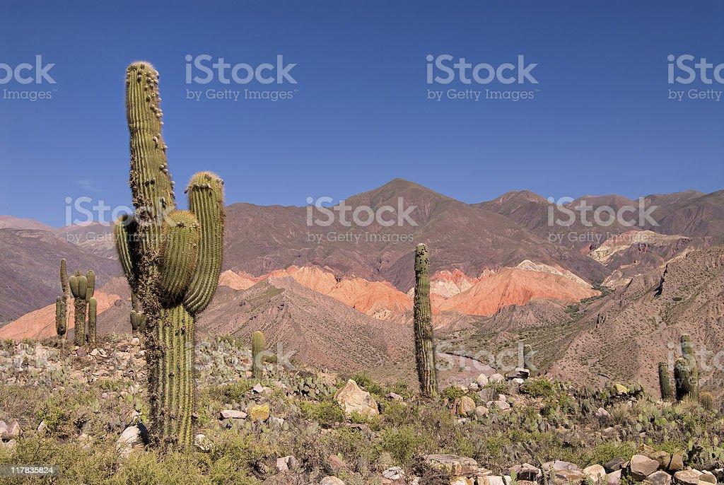 Cardon Cactus (Trichocereus pasacana) in Northern Argentina royalty-free stock photo