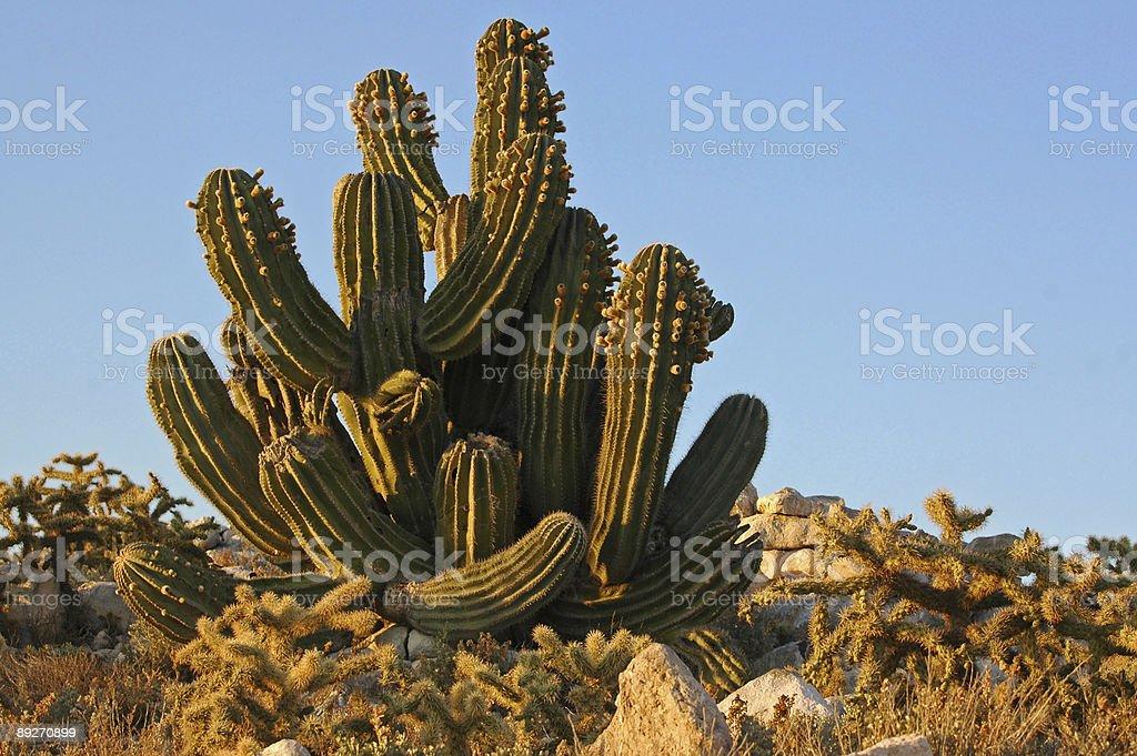 cardon cactus, Pachycereus pringlei royalty-free stock photo