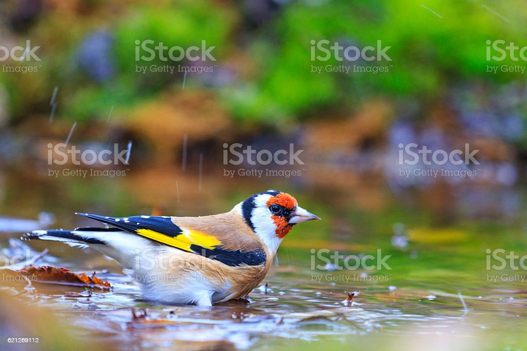 Carduelis  bathing in puddles forest stock photo