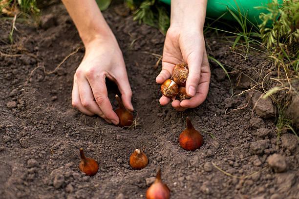 soin de fleurs jardin - plante à bulbe photos et images de collection