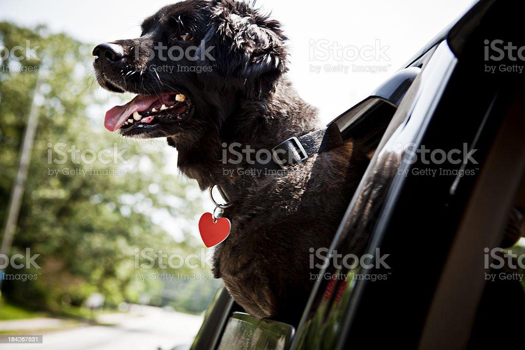 carefree dog royalty-free stock photo
